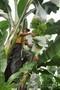 бананы производство и продажа - Изображение #4, Объявление #618582